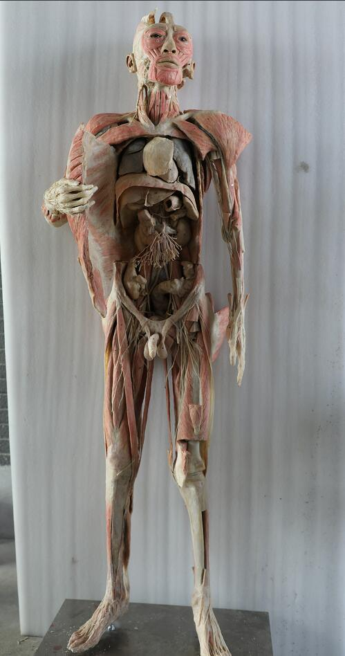 Plastinated male whole body dissection